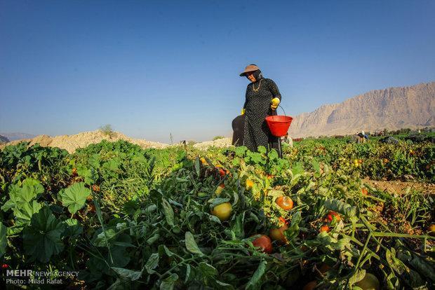 قطب فراوری گوجه فرنگی کشور اسیر مسائل متعدد، کشاورزان حمایت شوند